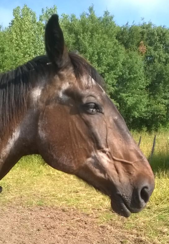 vieux cheval agé