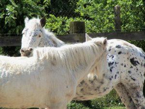 grattage mutuel cheval âgé cheval senior soins vie au pré
